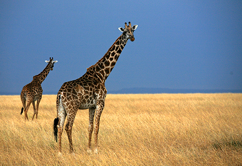 Two giraffes on the Masai Mara in Kenya with golden grass and smoky blue skies