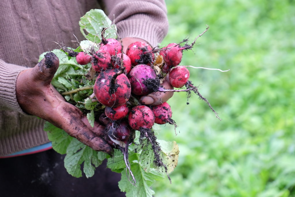 A bunch of freshly picked radishes covered in dirt. They look bright red against a lush green background. Image by Naomi Tomky.